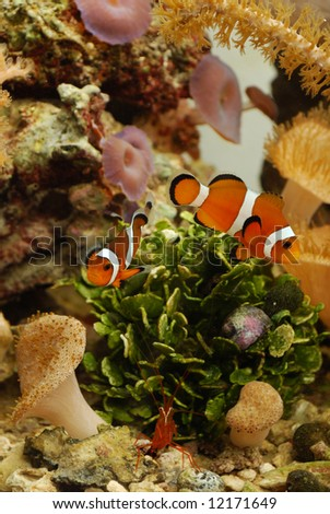 Clownfish and shrimp - stock photo