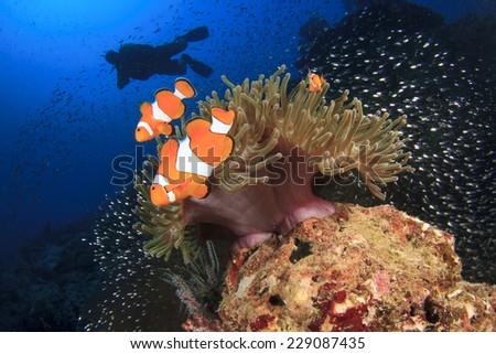 Clownfish Anemonefish and scuba diver - stock photo