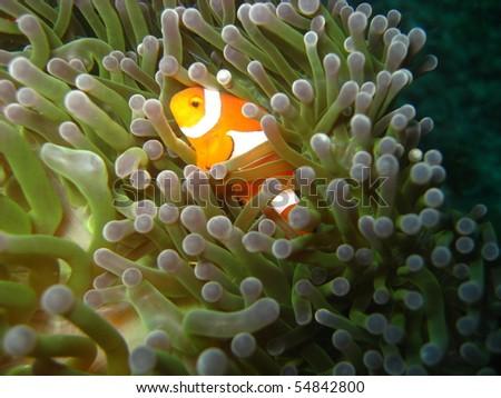 Clownfish, I just found nemo - stock photo