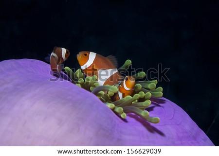 Clownfish in andaman sea.,Thailand - stock photo