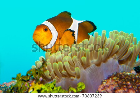 Clownfish in Anemone site in aquarium - stock photo