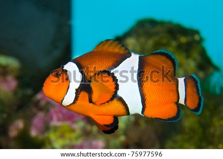 Clownfish in Saltwater Coral Reef Aquarium