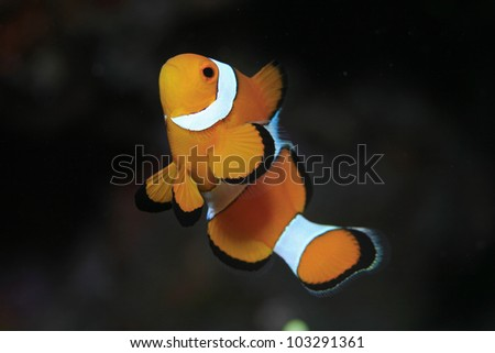 Clownfish in the tropical waters of Indonesia - stock photo