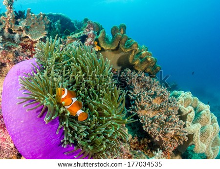 Clownfish in their protective anemone on a tropical coral reef - stock photo