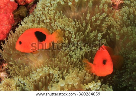 Clownfish Nemo fish (tomato Anemonefish) - stock photo