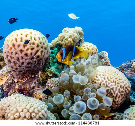 Clownfish on a shallow coral reef in the Egyptian Red Sea - stock photo
