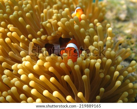 Clownfish or Anemone Fish, in Sea Anemone - stock photo