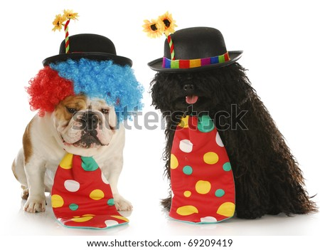 clowns - english bulldog and puli dressed up like clowns on white background - stock photo
