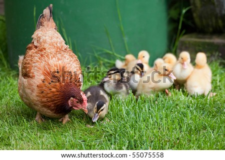 Clucking hen with little ducks - It's the mother! Motherly love - stock photo