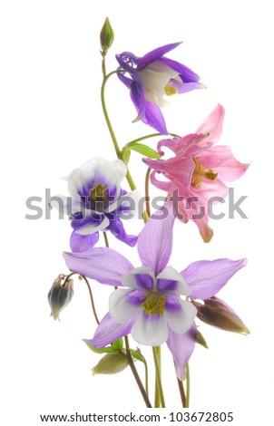 clumbine flowers - stock photo