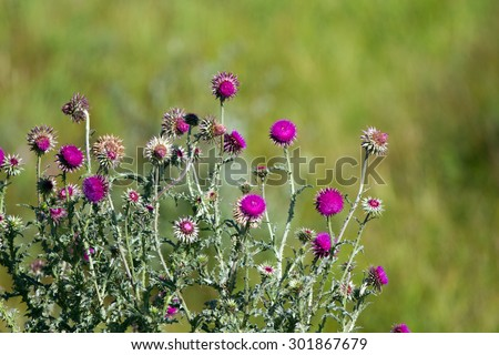 Clump of an invasive weed called Musk Thistle in central Montana - stock photo