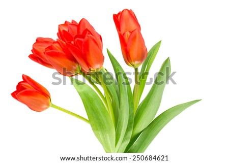Clump of fresh spring tulips and leaves isolated on white background. - stock photo