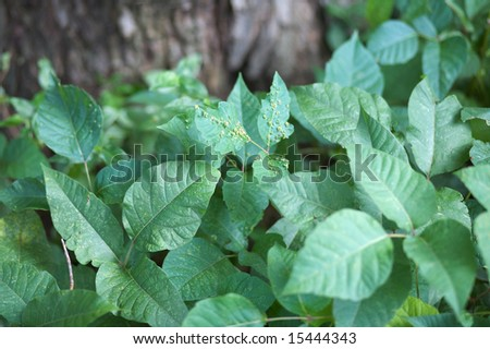 Clump of poison ivy next to a tree. Leaflets three let it be! Narrow DOF - stock photo