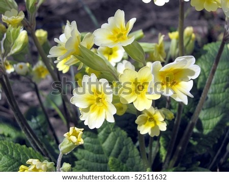 clump of yellow primroses growing in the garden