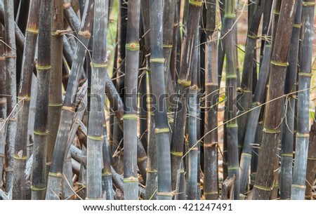 clumping bamboo, Back bamboo, bamboo species that are rare.