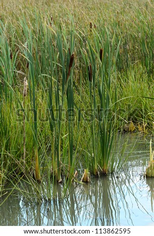 clumps of cattails grow within a marsh in a pond - stock photo