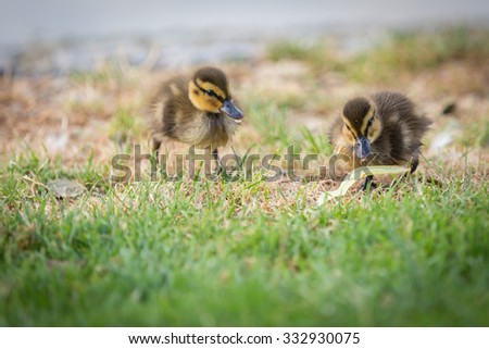 clumsy fluffy ducklings in the grass. - stock photo