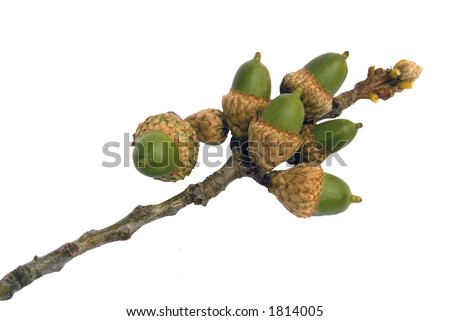 Cluster of acorns growing on a red oak tree branch - stock photo