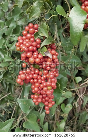 cluster of berries of homegrown sarsaparilla or smilax aspera - stock photo