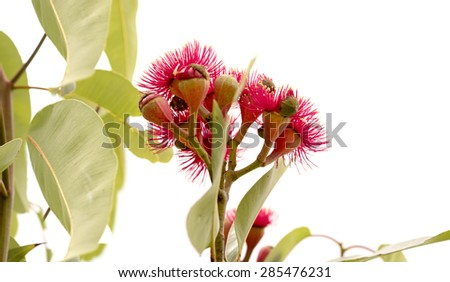 cluster of deep red flowers of Eucalyptus ptychocarpa an Australian red flowering bloodwood with large gum leaves Isolated on white background - stock photo