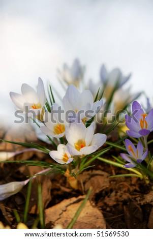 cluster of fresh spring crocuses - stock photo