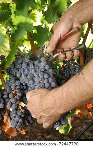 cluster of grape at the vineyard. - stock photo
