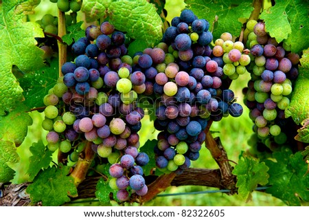 Cluster of grapes in Virginia vineyard ripening as harvest approaches - stock photo