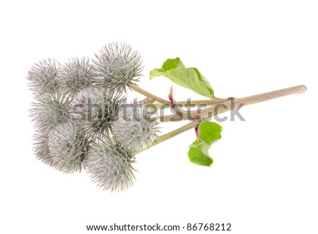 Cluster of Greater Burdock Isolated on White Background - stock photo