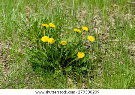 Cluster of healthy dandelion flowers - stock photo