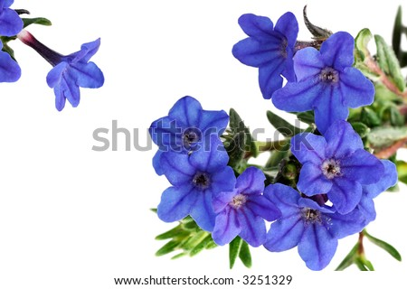 Cluster of Heavenly Blue - lithodora diffusa - flowers