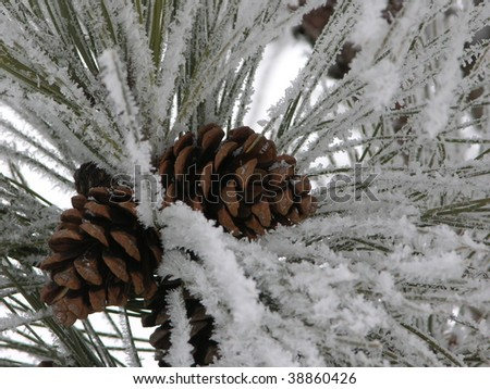 cluster of pinecones on a snowy pine bough - stock photo