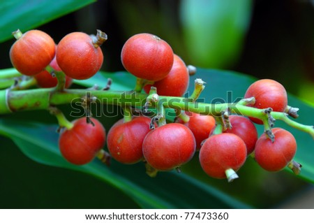 Cluster of red berries ripen on long stem amid bright green leaves. - stock photo