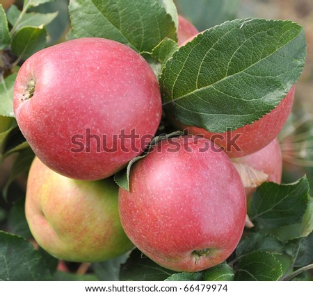 Cluster of ripe apples on a tree branch