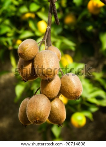 Cluster of ripe kiwi fruit on the branch. - stock photo