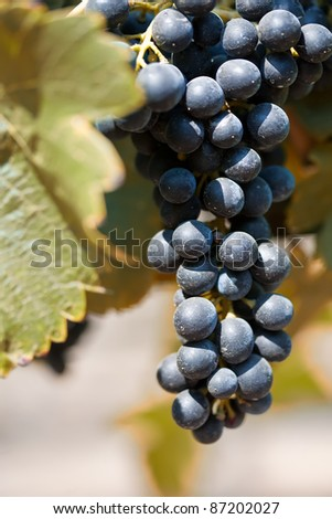 Cluster of ripe Shiraz grapes on the vine - stock photo
