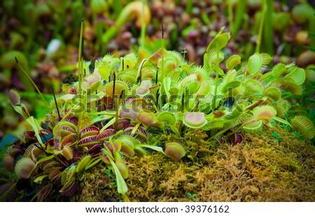 Cluster of venus flytrap plants - stock photo
