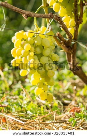 Cluster of white table grape on vine. Viticulture background - stock photo