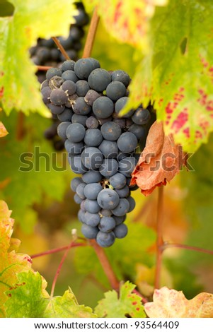 Cluster of Zinfandel Grapes ready for the harvest to make wine early morning with dew on them - stock photo