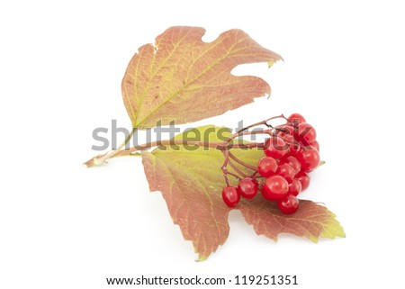 cluster red viburnum with leaf on white background