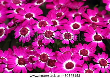 clustered pink Cineraria in full bloom in spring - stock photo