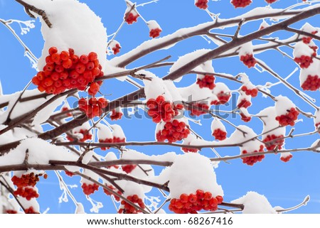 Clusters of a red rowan against the dark blue sky - stock photo