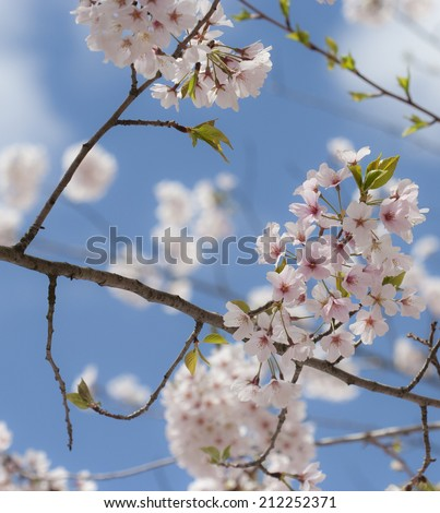 clusters of cherry blossoms against a bright blue sky background, nearest cluster in focus - stock photo