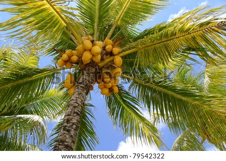 Clusters of coconuts on beautiful palm tree on Mauritius Island - stock photo