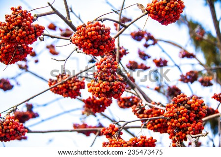 Clusters of red rowan berry - stock photo