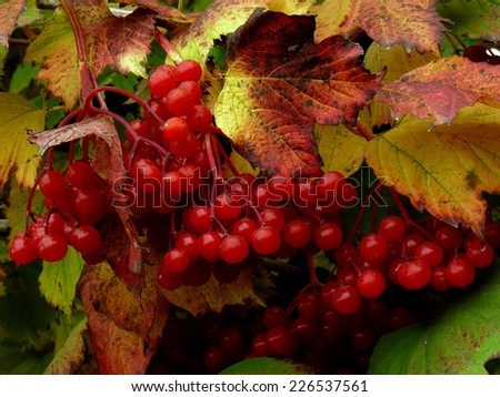 clusters of red viburnum among autumnal leaves - stock photo