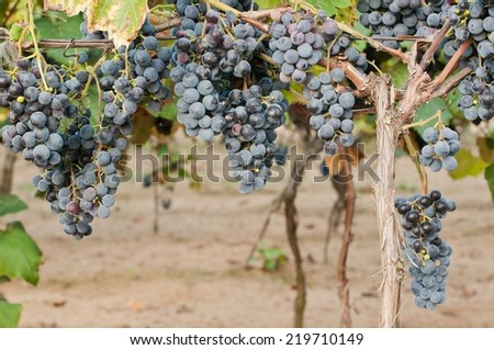 Clusters of red wine grape in vineyard ready to harvest - stock photo