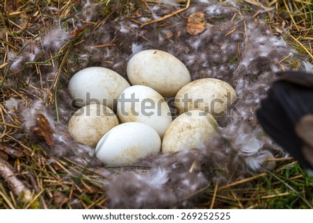 Clutch of Canada Goose eggs in a nest. - stock photo