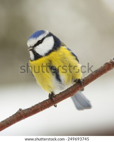 Coal Tit eating bird food on a snowy winter day - stock photo