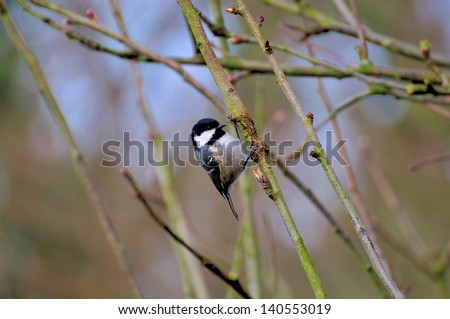 Coal tit on a branch. - stock photo