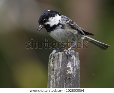 Coal tit on a wooden fence